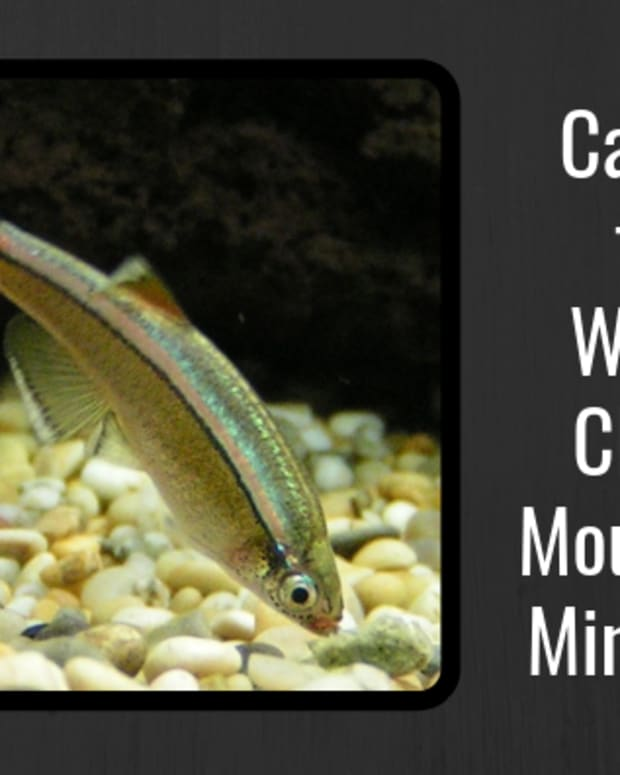 fish-care-white-cloud-mountain-minnows