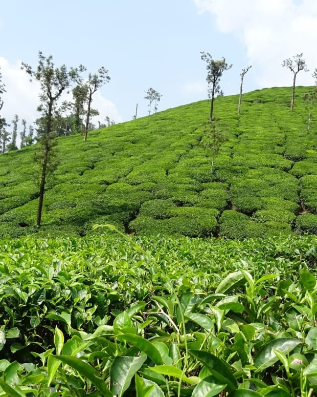top-5-destinations-for-the-tea-in-sri-lanka