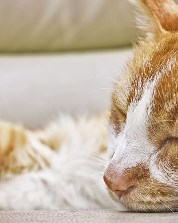 symptoms-of-kidney-disease-in-cats