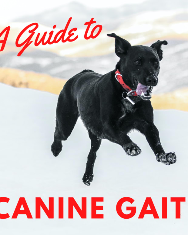 a-guide-to-understanding-dog-gait