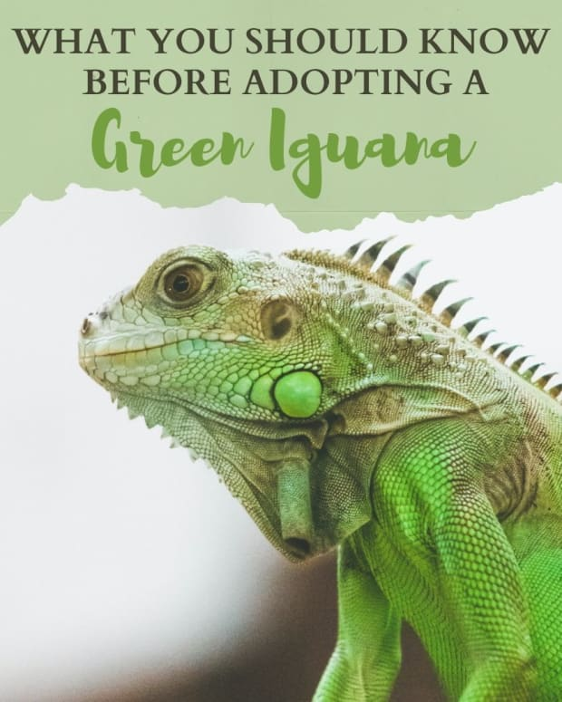 eleven-things-to-consider-before-adopting-a-green-iguana