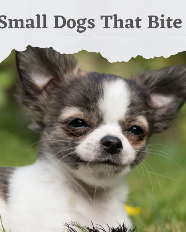 five-dog-breeds-that-bite-and-are-not-reported
