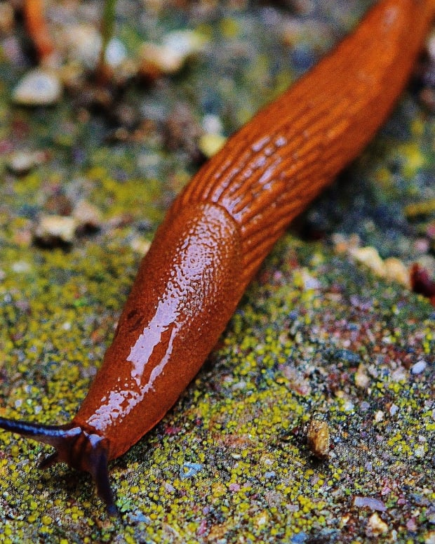 how-to-care-for-a-pet-garden-slug