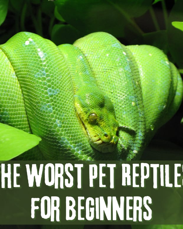 worst-pet-reptiles-for-beginners