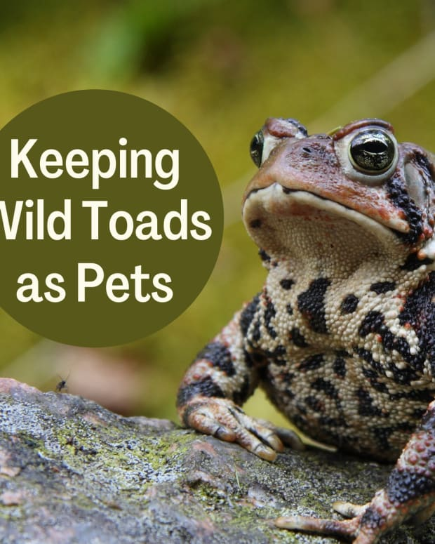 how-to-keep-a-wild-toad-for-a-pet