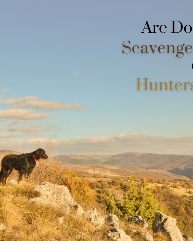 are-dogs-hunters-or-scavengers