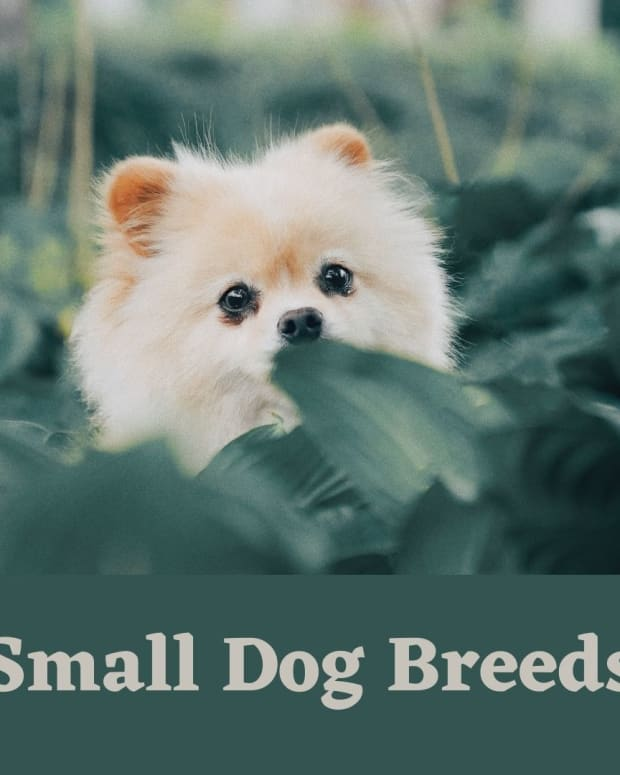 how-to-care-for-small-dog-breeds