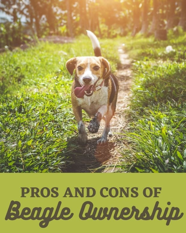 pros-and-cons-of-owning-beagles
