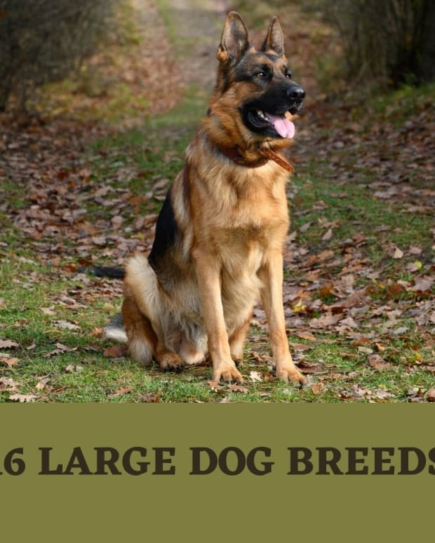 large-dog-breed-information