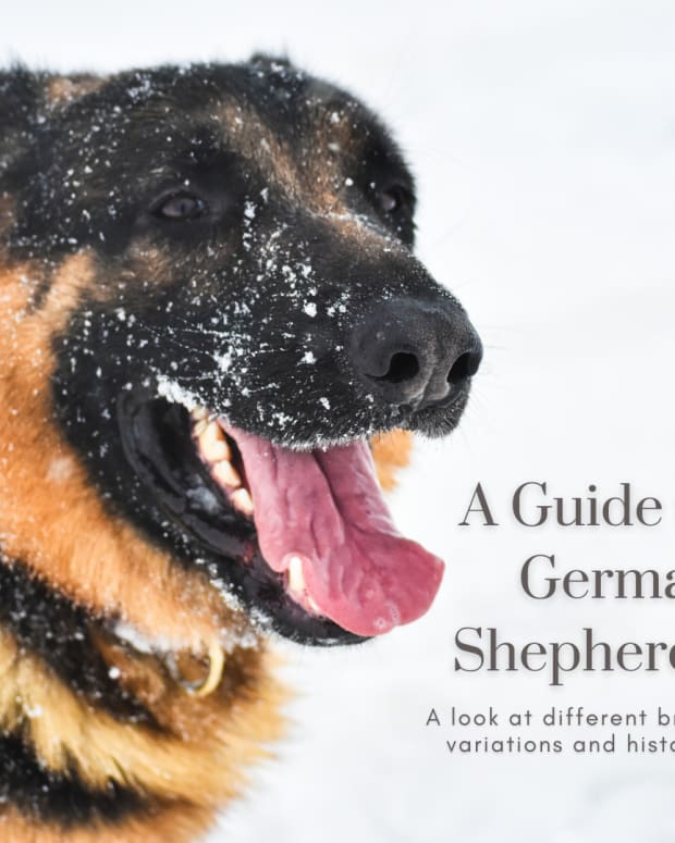 types-of-german-shepherds-german-shepherd-dog-varieties-guide