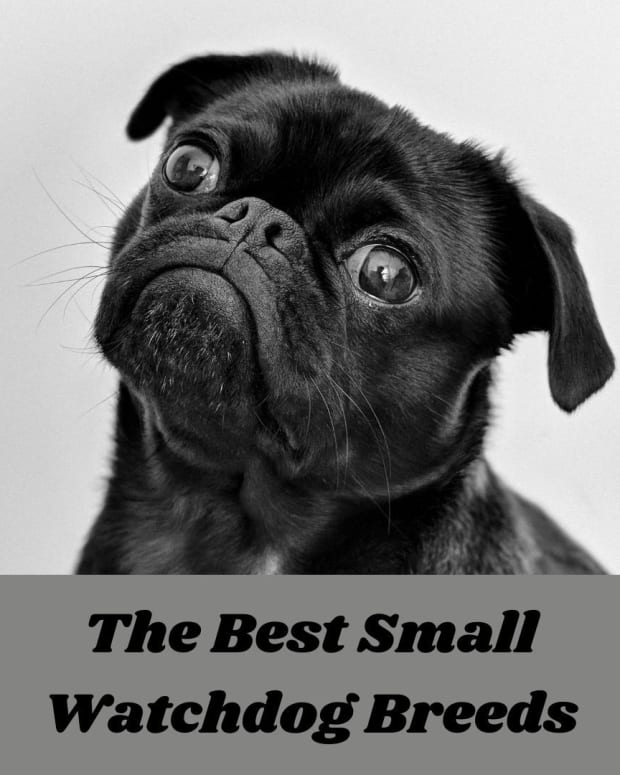 five-best-small-watch-dog-breeds