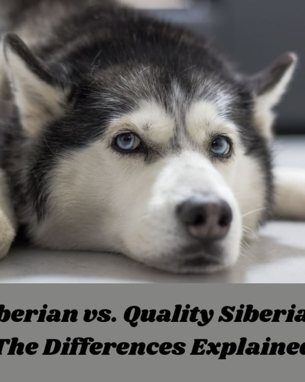 the-difference-between-a-siberian-and-a-quality-siberian