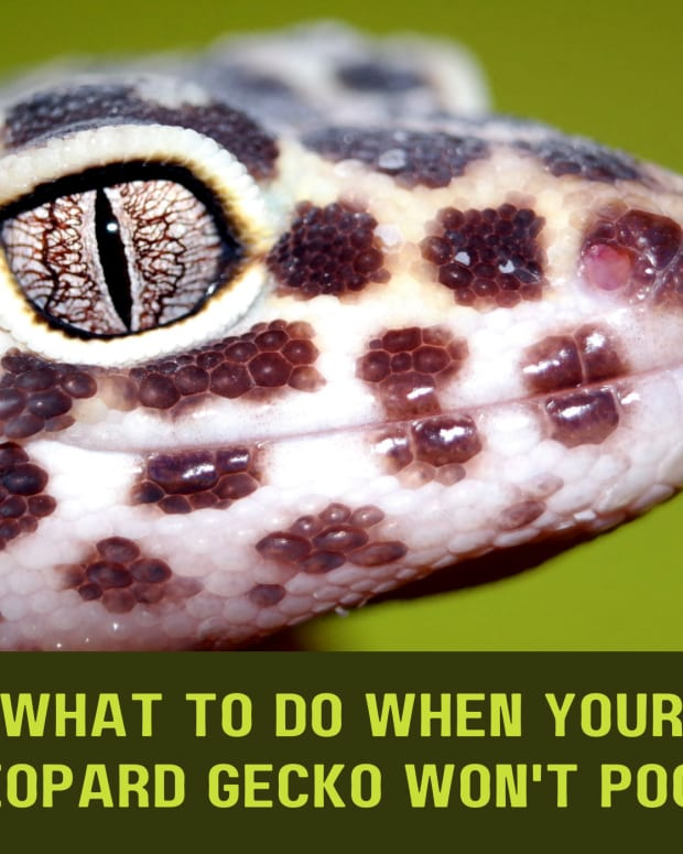 what-to-do-if-your-leopard-gecko-wont-poop