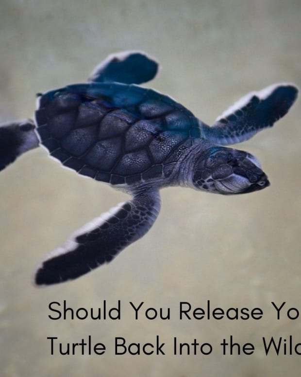 controversial-releasing-turtles-back-to-the-wild