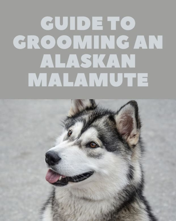 how-to-groom-an-alaskan-malamute