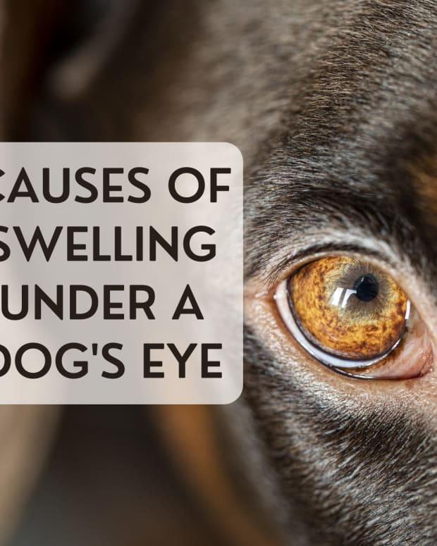 a-dogs-carnassial-tooth-problem-may-cause-swelling-under-the-eye