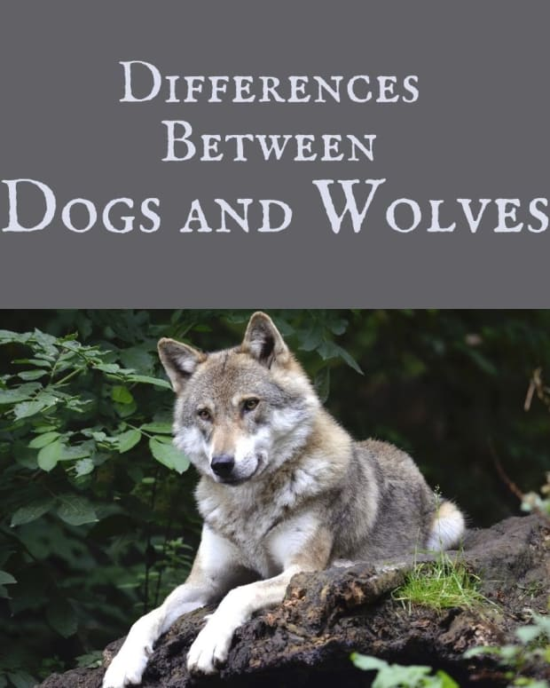 dog-behavior-how-has-dog-behavior-evolved-from-wolves