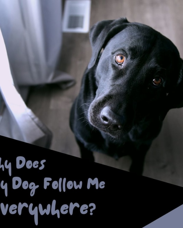 how-to-stop-a-dog-from-following-you-everywhere