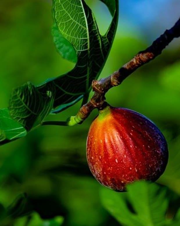 israel-the-summer-harvest