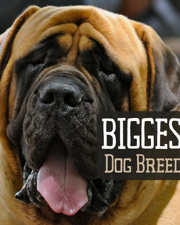 top-10-largest-dog-breeds-2