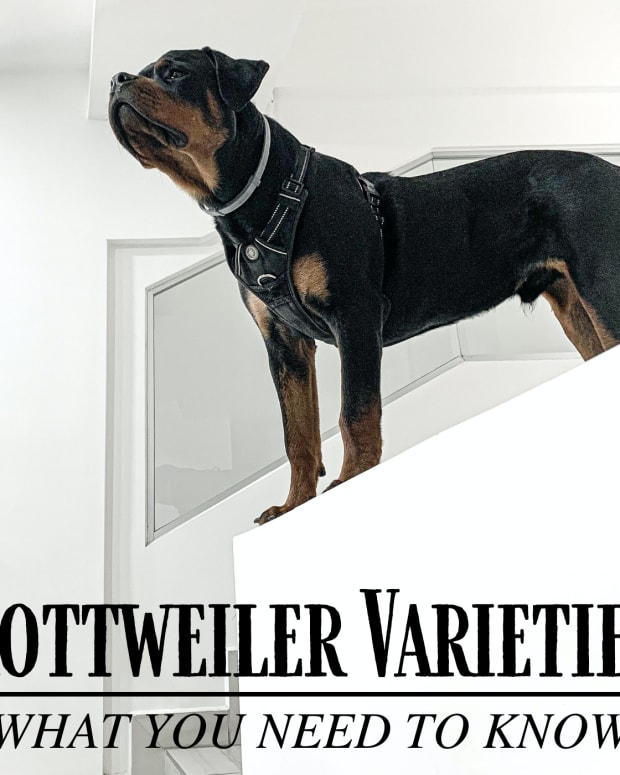 dog-breeds-the-different-types-of-rottweilers