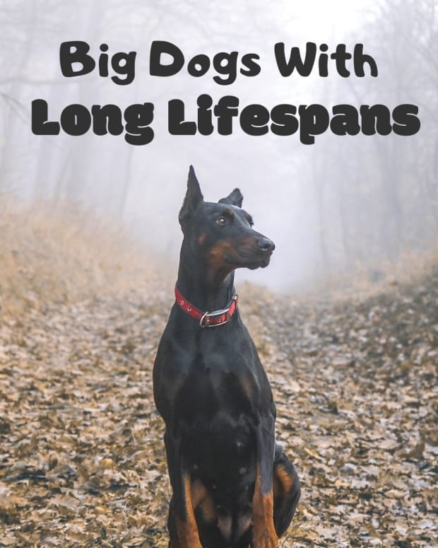 large-dog-breeds-long-lifespans