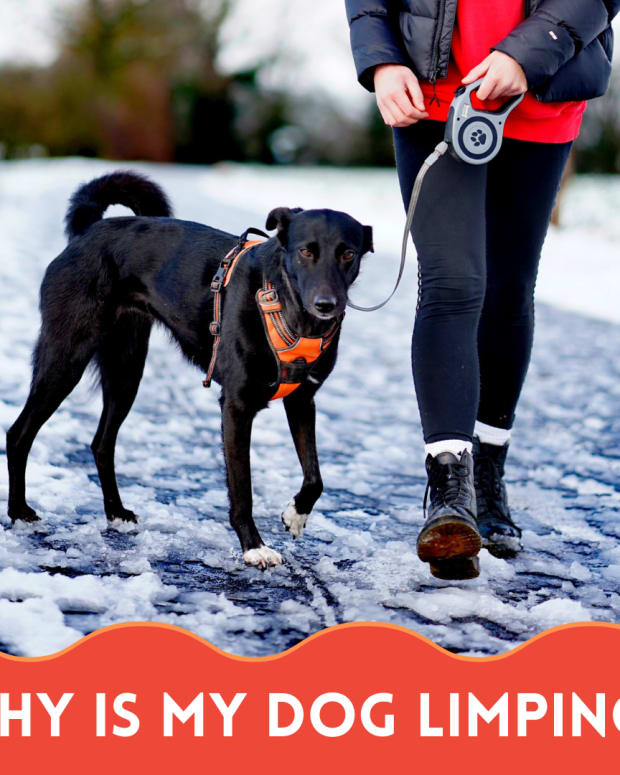 causes-of-limping-in-dogs