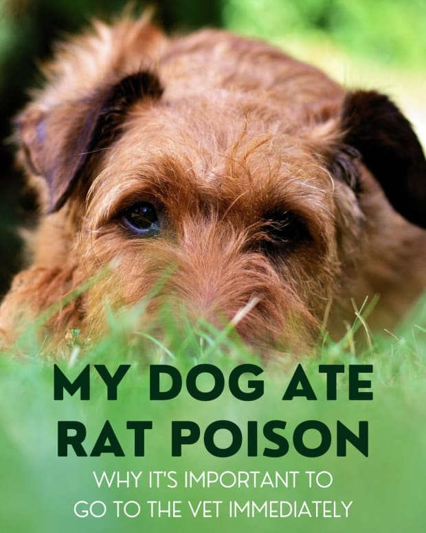 dog-health-dog-ate-rat-poison-what-to-do