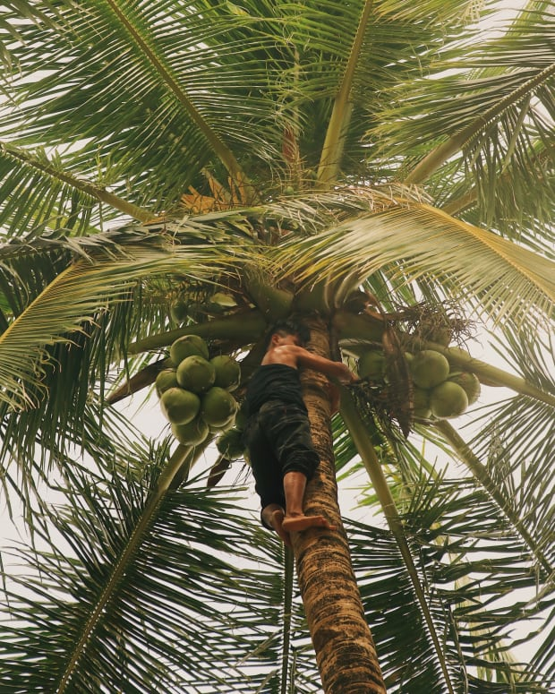 facts-about-coconut-palm-cocos-nucifera-history-discription-and-uses