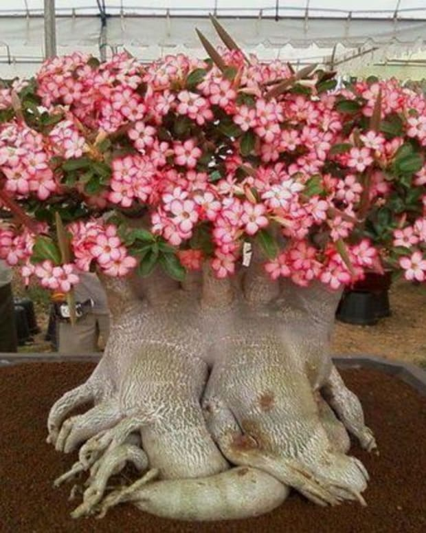 interesting-facts-about-the-desert-rose-plant
