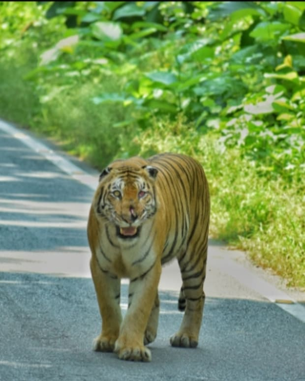 one-of-these-5-national-parks-in-india-will-guarantee-you-a-tiger-spotting