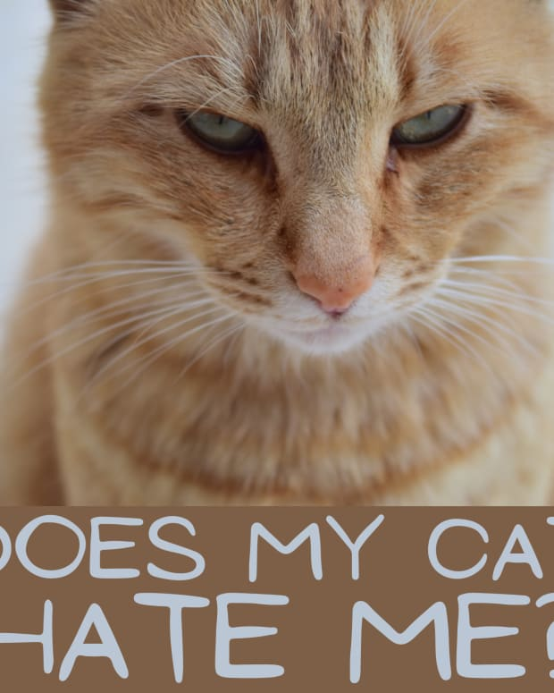 signs-your-cat-hates-you