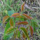 Above, new spring growth on a poison ivy plant  appears red.