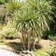 The Cordyline australis is a hardy plant that can survive harsh conditions and requires little maintenance to grow.