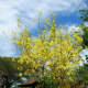The Amaltas tree