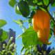 A lone ripe Fatalii pepper hanging in the sunlight.