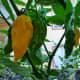 Ripe and unripe Fatalii peppers.