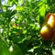 Ripening tomatoes.