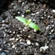 Habanero pepper plant seedling. Its first set of true leaves is just starting to set.