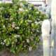 crassula-ovata-jade-plant