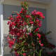 Sixteen months after being planted, our bougainvillea outgrew the original trellis. It is now on 3 trellises. Unfortunately, getting it on these trellises required pruning.
