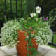 """This design features white """"Sweet Alyssum"""" draping over the sides with an upright white geranium in the middle. There is additional greenery added for contrast. You can also see a """"Perennial Cornflower Violetta"""" on the back left. These bloom in the s"""