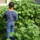 My son, BT, standing next to some mallow plants that have grown as tall as he is!