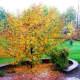 crabapple-trees