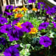 Sun-loving Purple wave Petunias (annual)