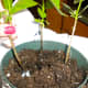 Plant new shoots in pots or at new site.