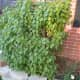 Find a healthy parent lilac bush with new shoots