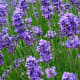Lavender  is one example of a low.growing plant!