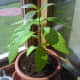 Avocado tree by the window.  Look how healthy it is!