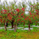 Looks like they know what they're doing in Japan as well!  These Fuji apple trees look great.  The Fuji is an apple hybrid developed at theTohoku Research Station in Fujisaki, Aomori, Japan, in the late 1930's, and brought to market in 1962.